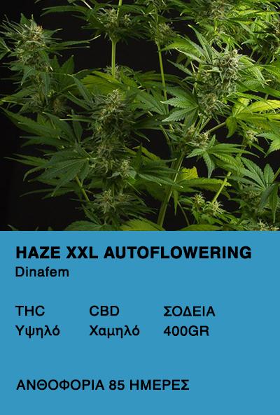 Haze XXL Autoflower