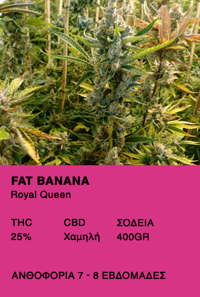 Fat Banana-Royal Queen