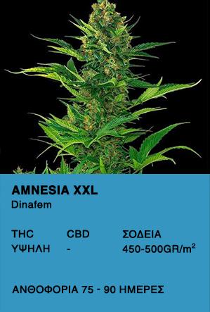 Amnesia XXL Auto - Dinafem