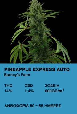 Pineapple Express Auto- Barney's Farm